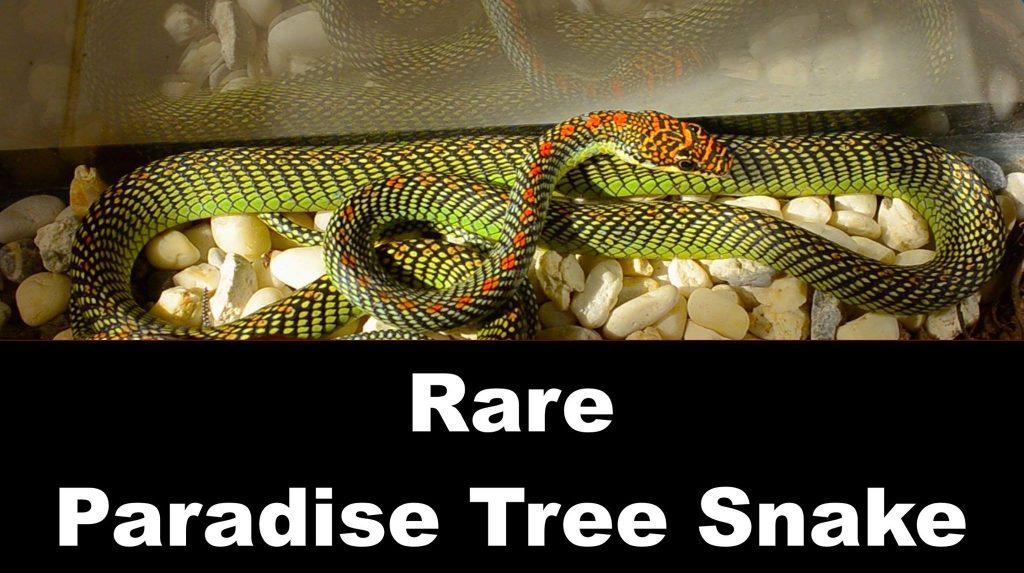 Paradise tree snake - Chrysopelea paradisi.