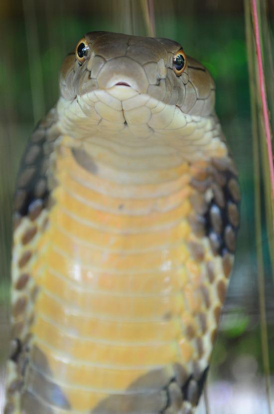King cobra - deadly and nothing to mess with.