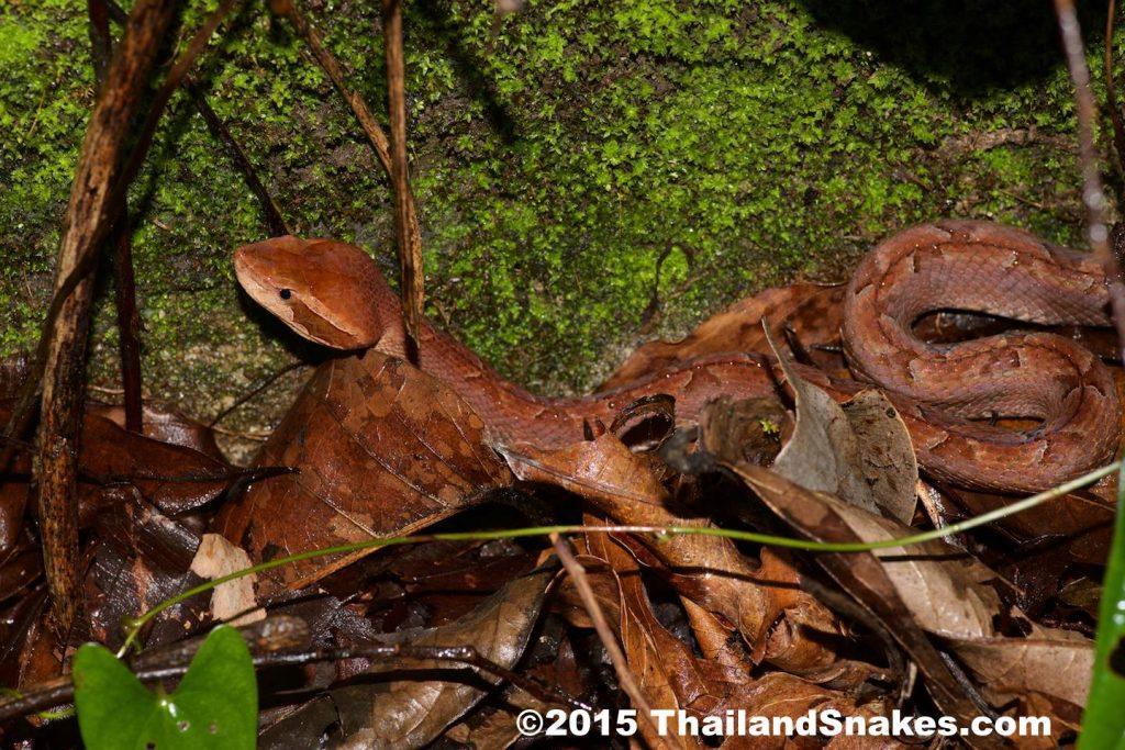 Malayan Pit Viper In Situ - Krabi, Thailand