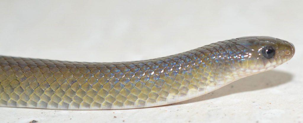New snake, not named.