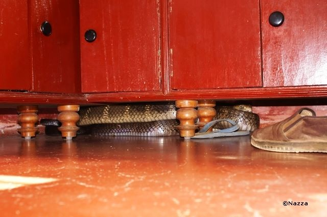 King cobra under the kitchen counter... who you going to call?