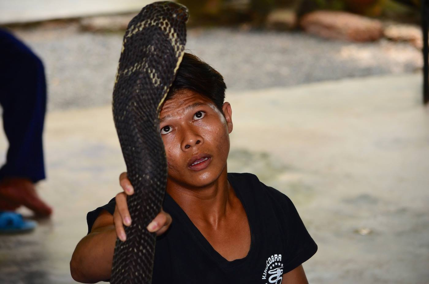 Ole from Burma handles a large king cobra in a show in Thailand.