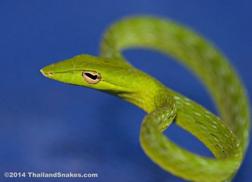 Green Oriental Whip snake. Harmless for humans.