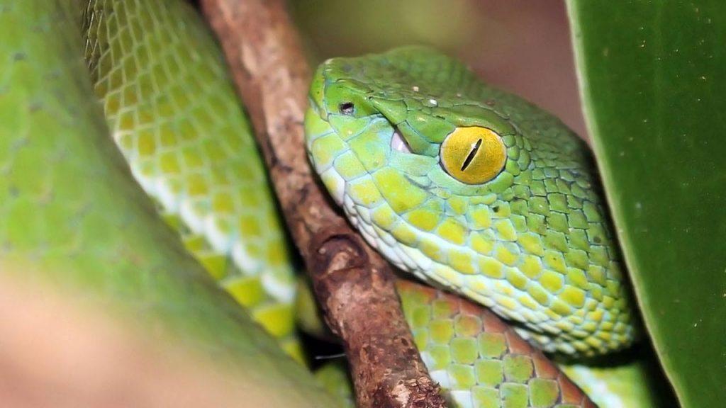 Green pit viper - dangerous.