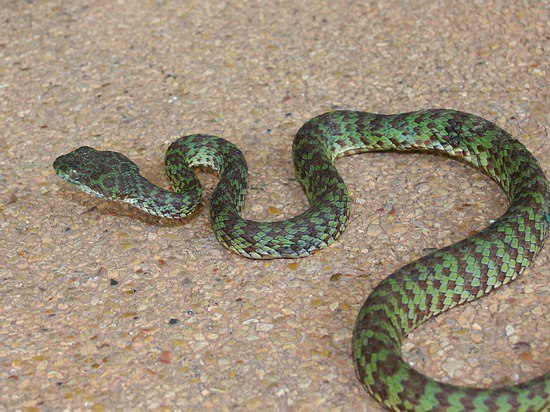 Brown-spotted pit viper - can be dangerous.