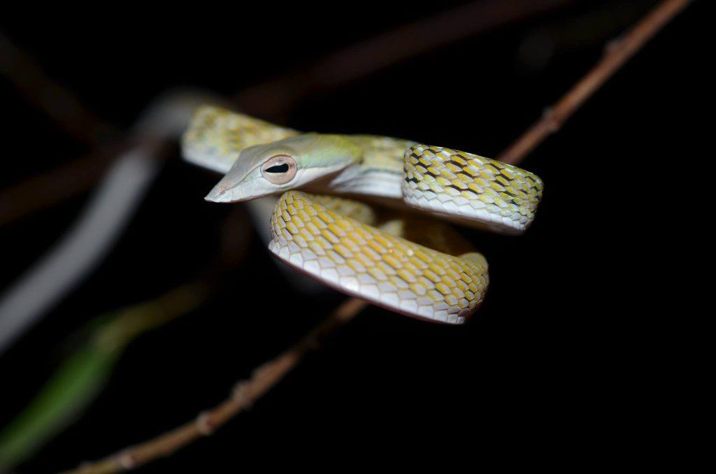 Yellow phase Ahaetulla prasina - Oriental Whip snake.