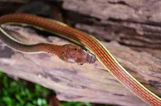 Bronzeback snake - tree snakes that have very mild venom.