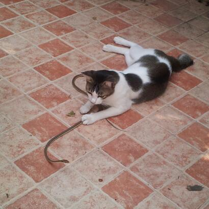 Cat plays with one of the bronzeback snakes. Harmless snake.