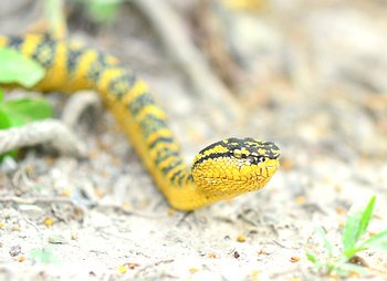Female Wagler's viper in a very yellow coloration.