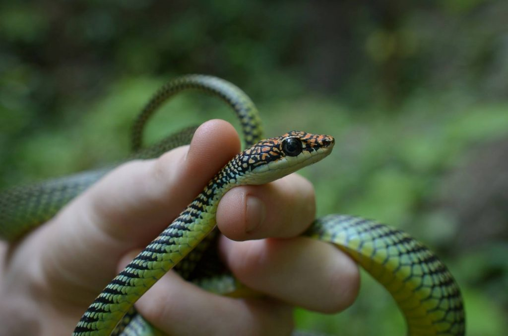 Chrysopelea paradisi - the Paradise Tree Snake, a lovely patterned snake found in Krabi, Thailand.
