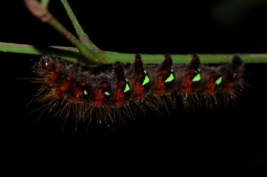 Caterpillar seen at night - venomous?