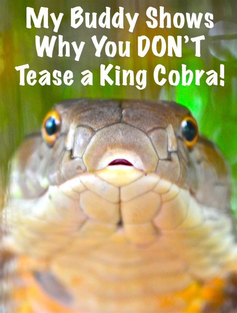 King cobra surprise attack.
