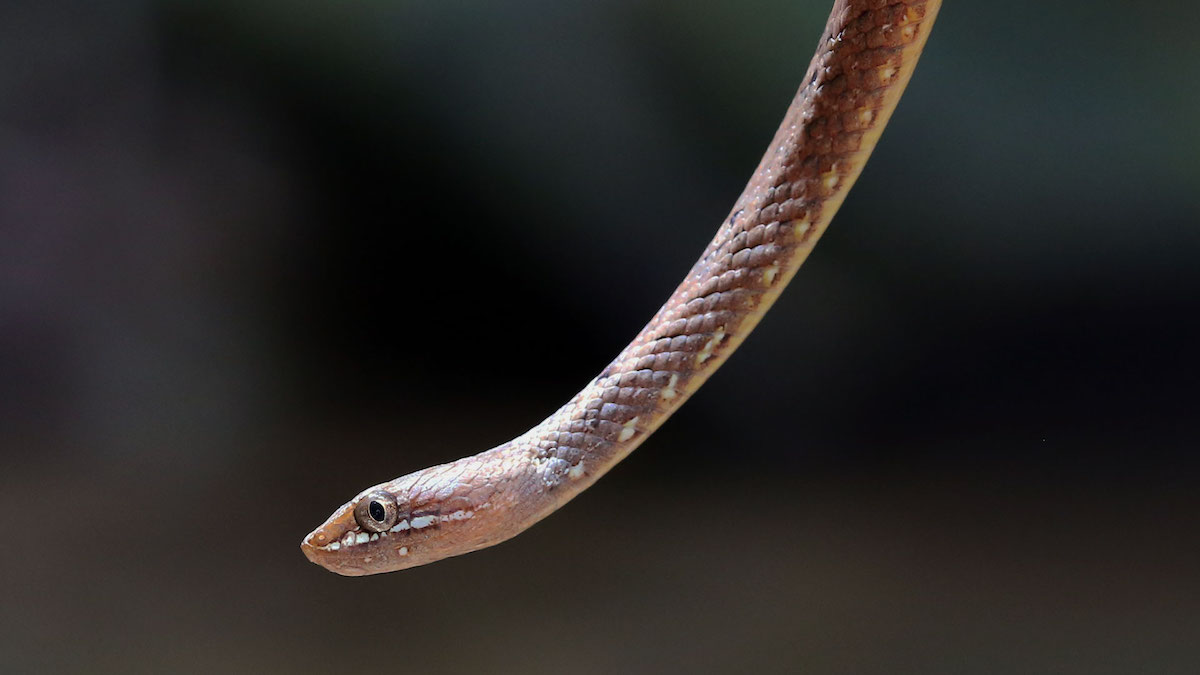 Close-up of mock viper non-venomous snake from Koh Chang Island, Thailand. Psammodynastes pulverulentus.
