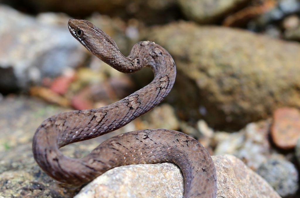 Mock viper in situ on island of Koh Chang, Thailand. Psammodynastes pulverulentus.