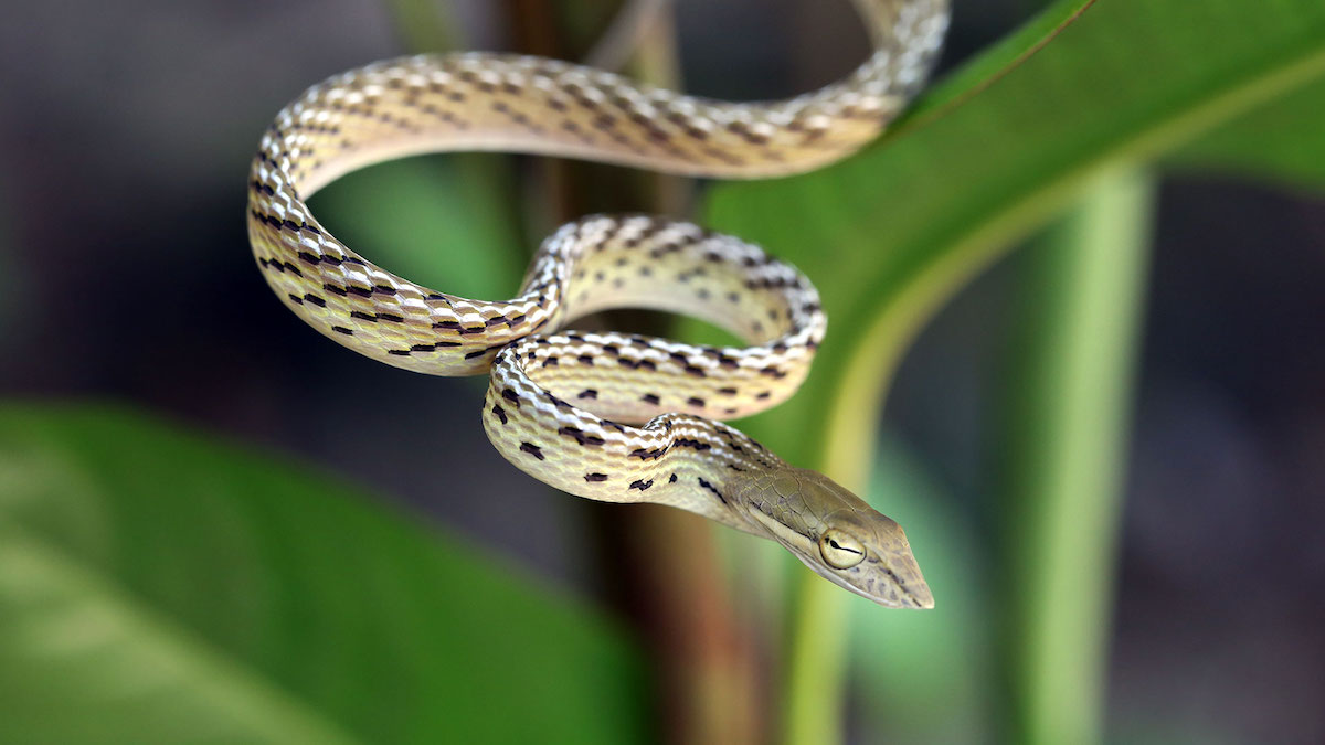 Yellow Phase Oriental Whip Snake (Ahaetulla prasina) - defensive posture. Koh Chang Island, Thailand.
