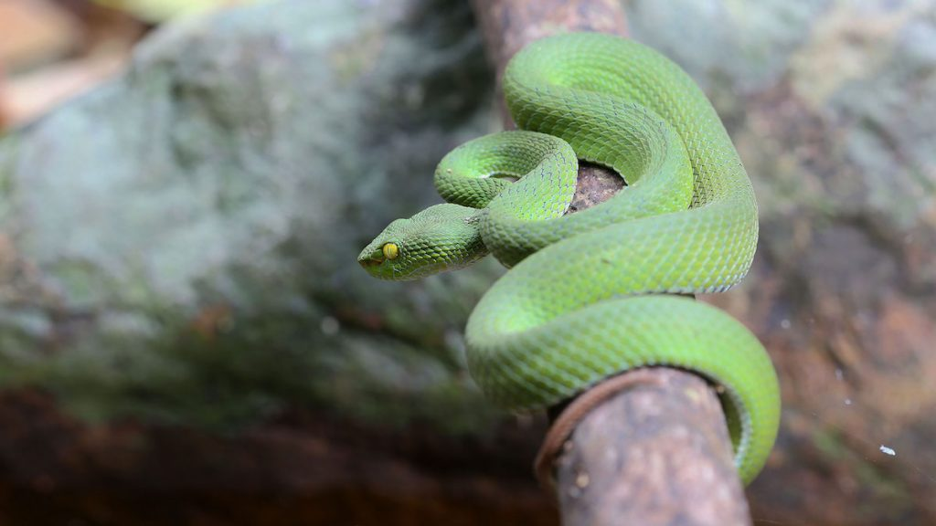 Green pit viper from Koh Chang Island, Thailand.