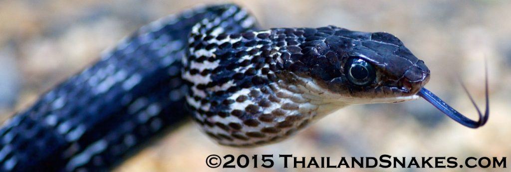 Black Thailand Snake, Ptyas carinata - Keeled Rat Snake.