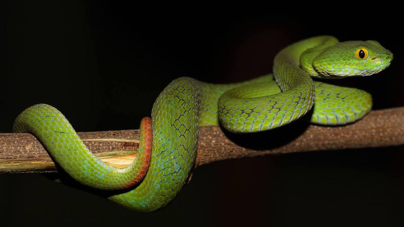 Big-eyed or Large-eyed Pit Viper photo by David Frohlich. All rights reserved.