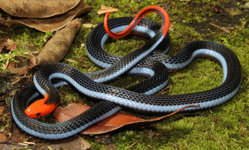 Blue Malaysian Coral Snake - deadly and rare in Thailand.