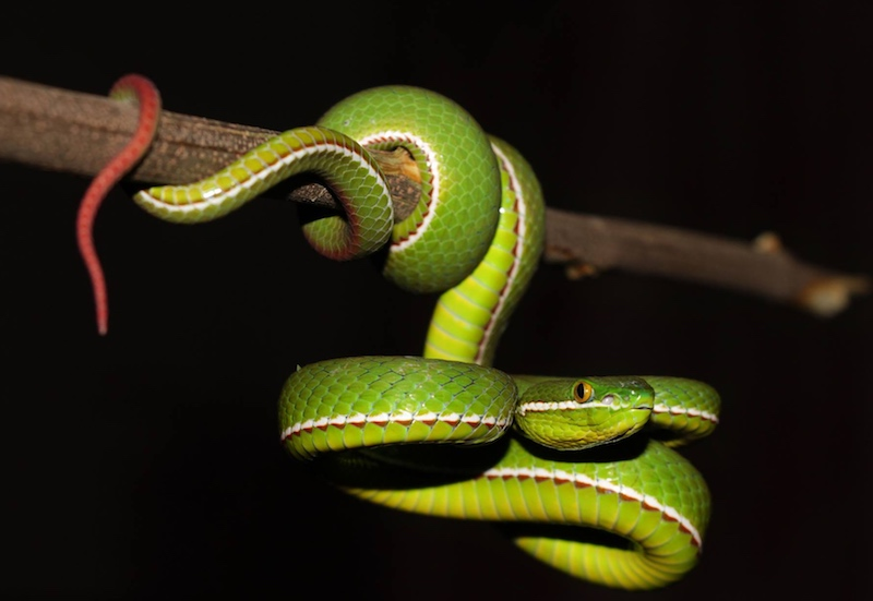 Male white-lipped pit viper from Thailand by David Frohlich.