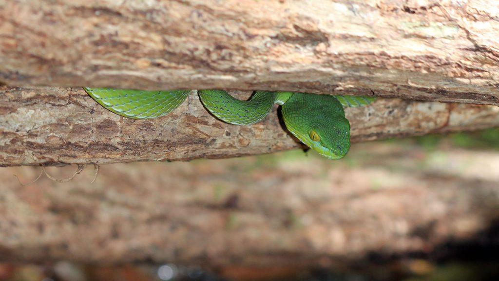 Green Pit Viper - Koh Chang Island, Thailand.