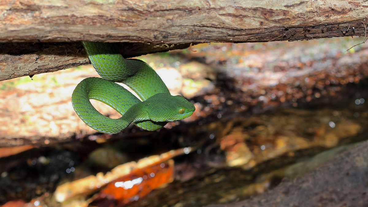 Green Pit Viper In Situ Stream - Koh Chang Island, Thailand