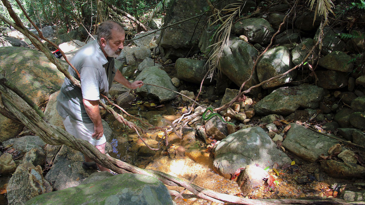Trimeresurus cardamomensis pit viper in Koh Chang, Thailand.