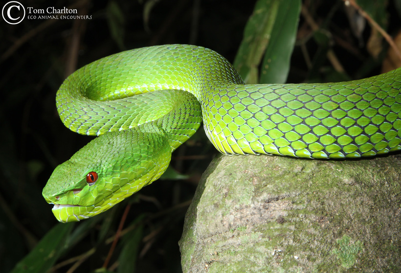 Female Pope's pit viper from Thailand.