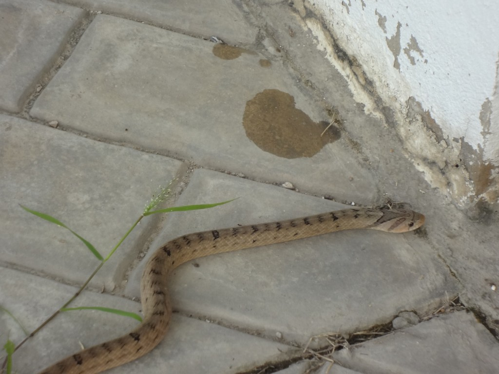 Kukri snake at a house in Cha-Am, Thailand.