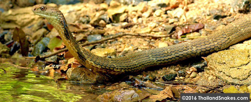 King cobra in freshwater stream in Krabi, Thailand.