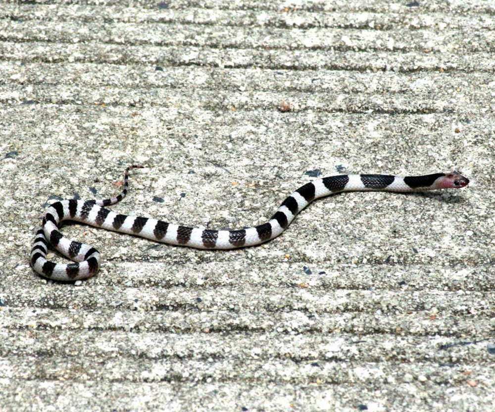 Malayan Krait on Island of Koh Samui, Thailand.
