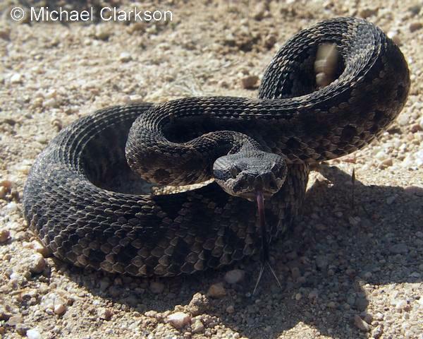 Crotalus oreganus helleri - Southern Pacific Rattlesnake