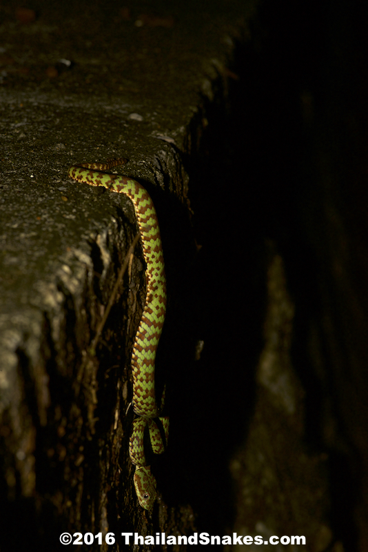 Brown-spotted Pit Viper (Beautiful Pit Viper - T. venustus) waiting in ambush for prey (frogs).