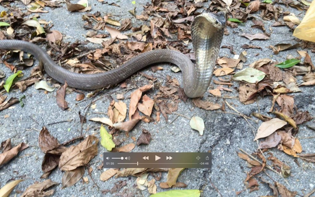 Monocled Cobra - Naja kaouthia release in Southern Thailand.