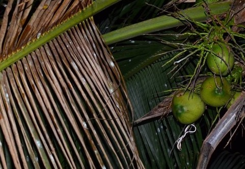Oriental Whip Snake sleeping on palm tree branch.
