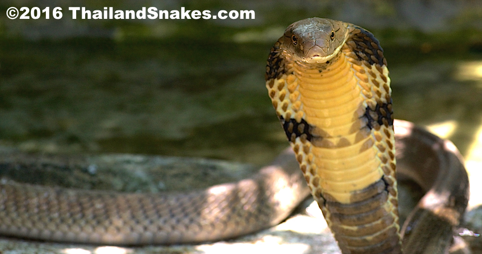 An adult king cobra showing classic threat response, hooding and preparing to strike as it senses danger.