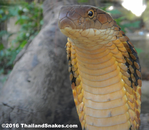 Large adult king cobra showing hood and round pupils