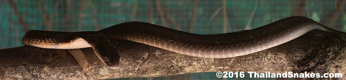An adult king cobra (Ophiophagus hannah) in southern Thailand, resting on a branch.