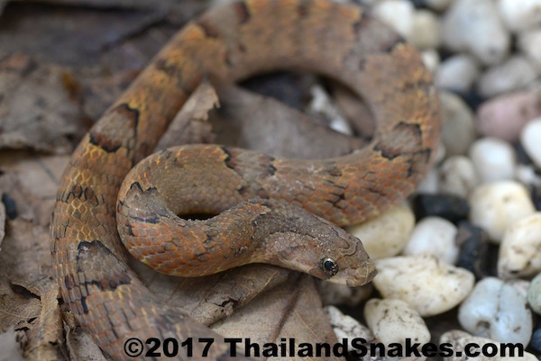 Purple Kukri Snake - Harmless and common in Thailand.