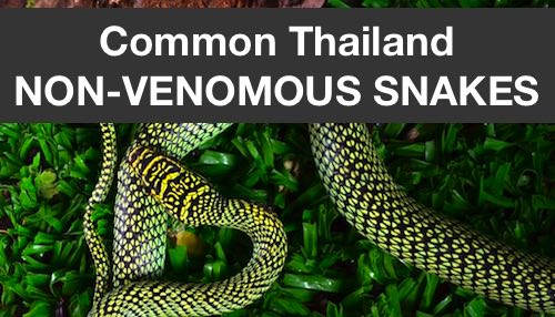 Common Thailand Non-Venomous Snakes – Photos, Videos, Links
