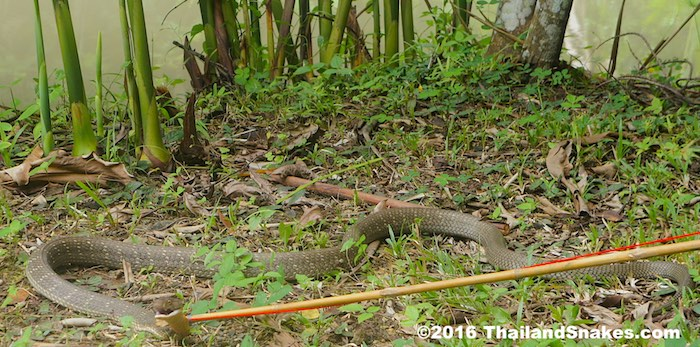 King cobra caught with bamboo rope noose in Thailand.