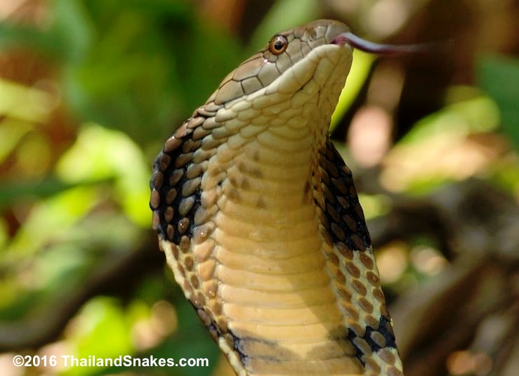 Two meter King Cobra found in Krabi, Thailand.