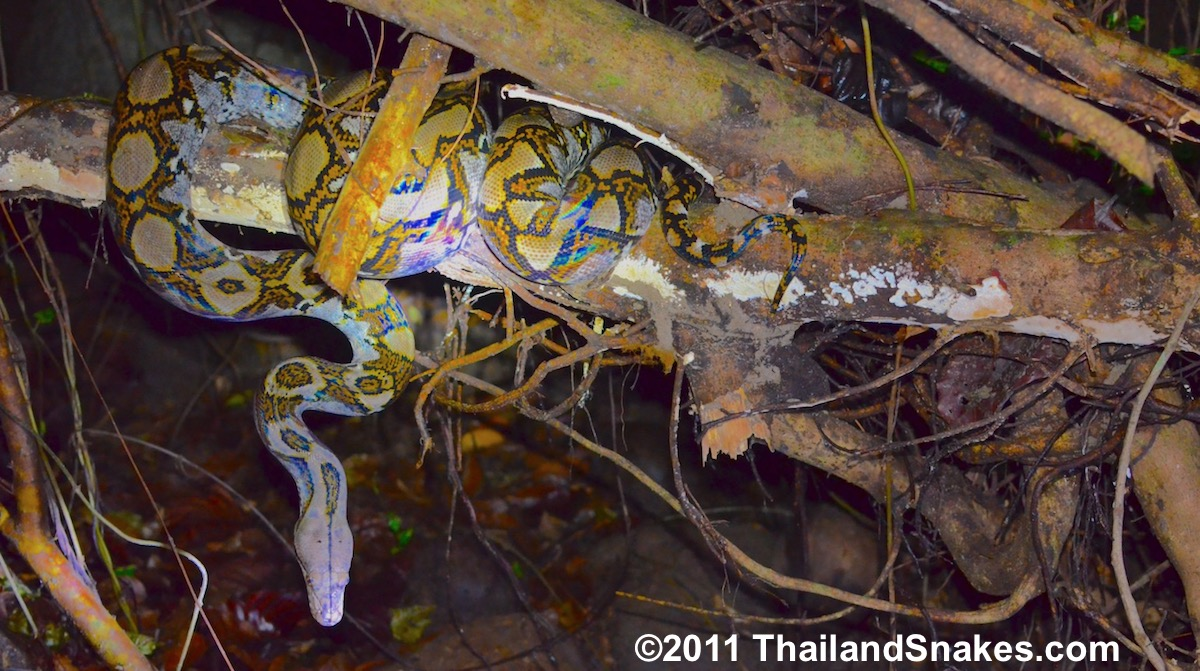 what is the longest snake in the world thailandsnakes