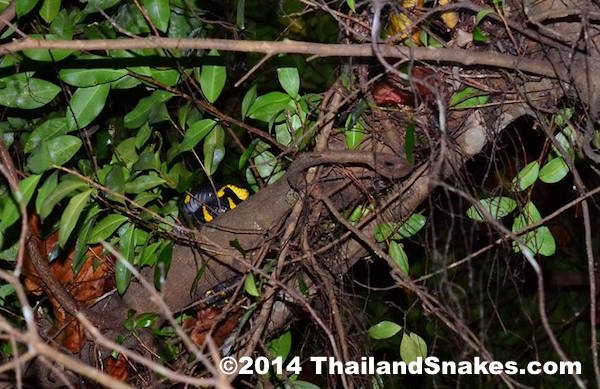 Mangrove cat-eyed snake in trees near ponds in Krabi, Thailand.