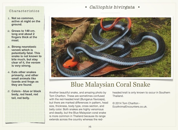Blue long-glanded coral snake for Common Thailand snakes ebook.