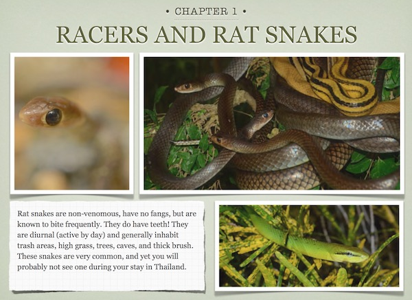 Racers and rat snakes for the Common Thailand snakes ebook.