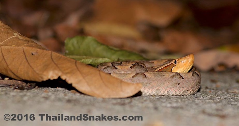 Malayan pit viper snake on ground waiting for rodents.