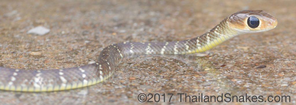 Indo-Chinese Rat Snake (Ptyas korros) hatchling snake from Krabi province, Thailand.