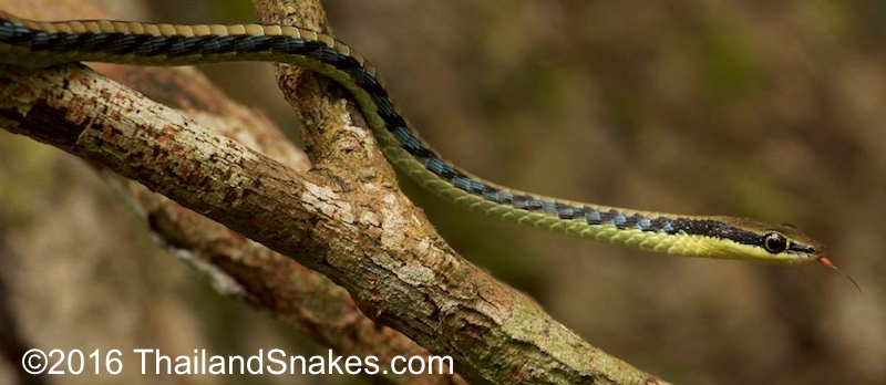 Bronzeback snake in tree.