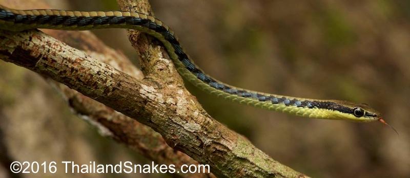 Bronzeback snake in tree.
